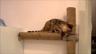 Тиша, 2 месяца (Санкт-Петербург, Пушкин), котёнок бенгальской кошки