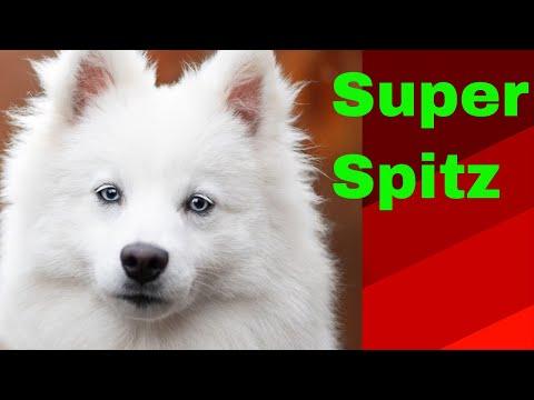 INDIAN SPITZ DOGS   FUNNY  DOGS ( KUCHI) spitz, dog, spitzdogs, Indianspitzdogs