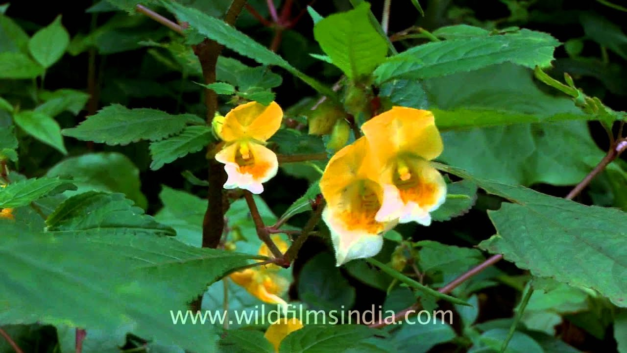 Impatiens Or Wild Balsam Growing Around Mussoorie Youtube