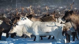 Arctic animals life-The reindeer