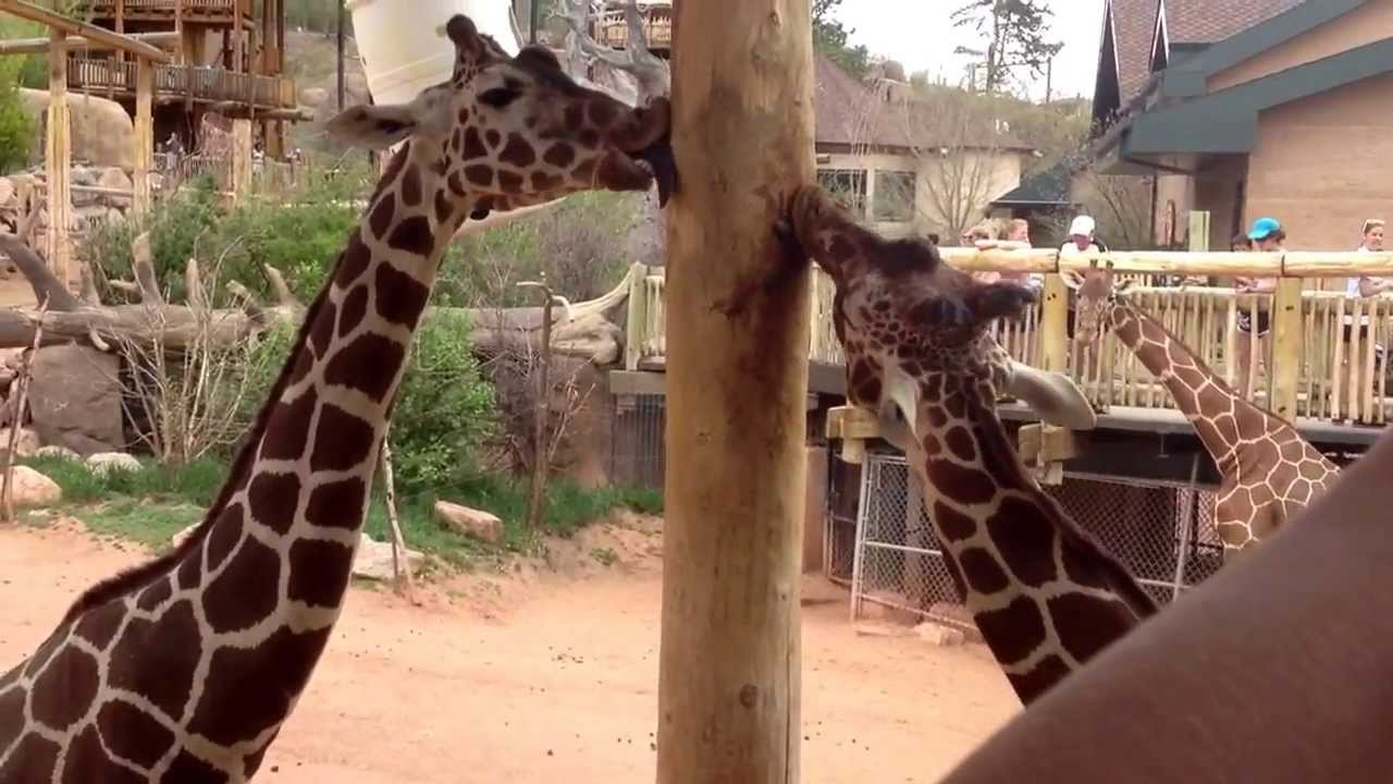 Why do giraffes lick poles