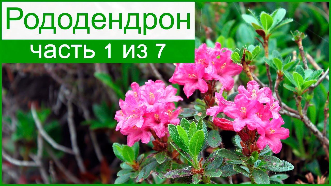 рододендрон описание и фото
