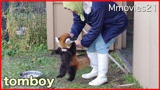 お転婆赤ちゃんレッサーパンダに振り回される飼育員さん