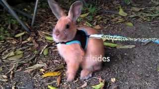 Bunny Going For A  Walk In Harness Leash