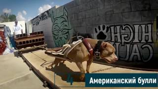 TOP 10 САМЫХ МУСКУЛИСТЫХ ПОРОД СОБАК   TOP 10 MOST  MUSCULAR DOG BREEDS