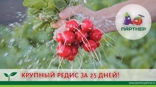 КРУПНЫЙ РЕДИС ЗА 25 ДНЕЙ!