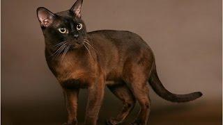 Burmese cat / Бурманская кошка