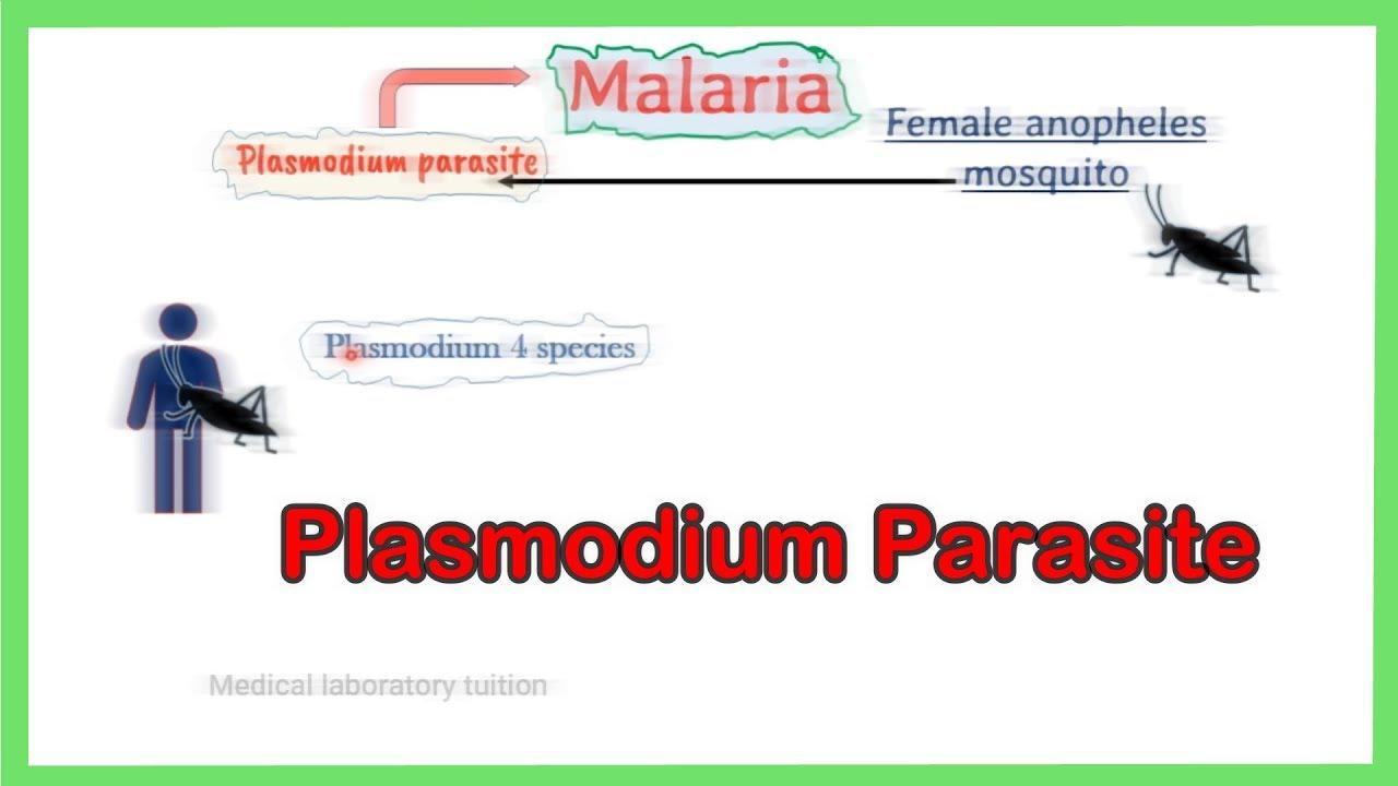 Plasmodium malariae: jellemzők, morfológia, életciklus