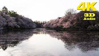 TOKYO.| 井の頭公園 桜 花筏.| Inokashira Park SAKURA (sakura floral raft) 2018. [ 4K. Binaural Audio]