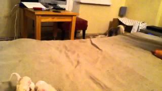 Фиби таскает маленьких котят