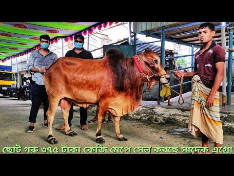 Sadeeq Agro Special - লাইভ ওয়েট ২০০ থেকে ৪০০ কেজির গরু ৩৭৫ টাকা প্রতি কেজি - ছোট গরু আসবে জুলাই মাসে
