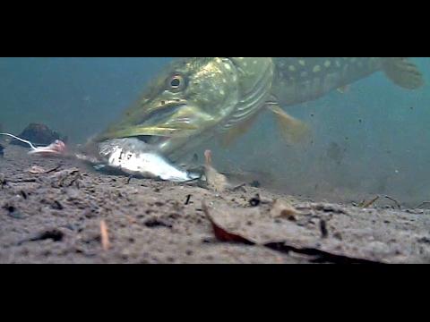 AMAZING FOOTAGE Pike Taking Bait Under Water!