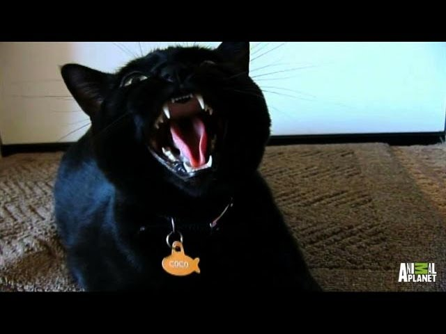 Cute Kitten, Coco, Turns Vicious | My Cat From Hell