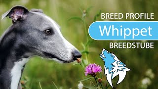 Whippet Breed, Temperament & Training