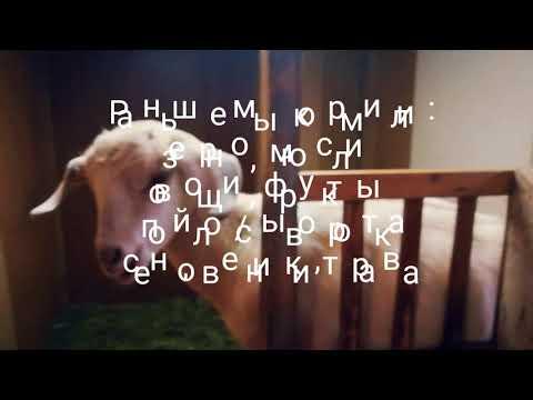 Кормление коз // Самый...