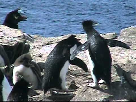 Penguins of the Falkland Islands - Travel Video