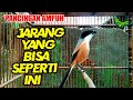 Cendet Istimewaaa Bikin Cendet Lain Ikutan Gacor Dan Emosi  Mp3 - Mp4 Download