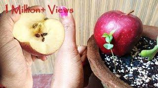 Grow Apple tree at home; सेव का पौधा घर पे भी ऊगा सकते हैं: English Subtitle