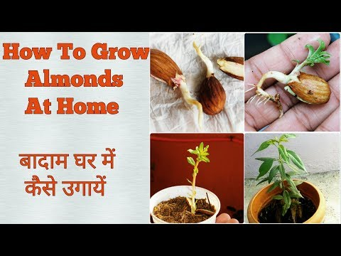 Almond Germination at home easy process step by step.