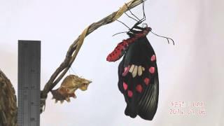 紅紋鳳蝶羽化,蛻皮後翅翼開展採用兩倍速編輯!(記錄器材:CANON 5D MA...