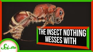 The Insect Nothing Messes With: Meet the Velvet Ant