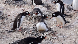 Cheeky Penguins Steal Home From Mother