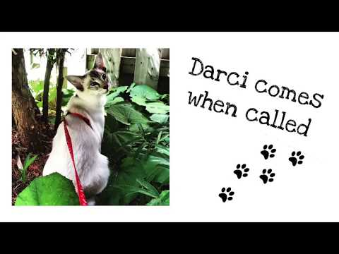 Balinese Cat Darci Comes When Called