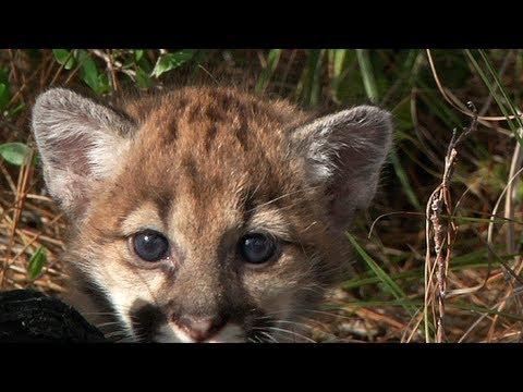 Florida Panther Kitten 01, Florida's Endangered Species - YouTube