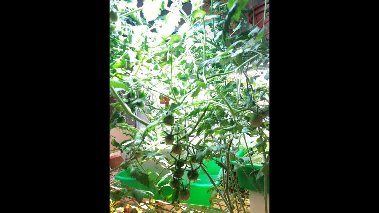 Led Grow Light 30w Hydroponics Tomatoes Replace 400w Hid Lamp
