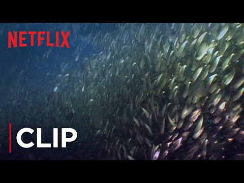 Mission Blue | Clip - Fish Oil Myth - Menhaden HD | Netflix
