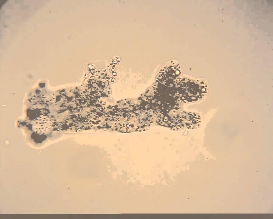 Amoeba Microscope Slide Labeled