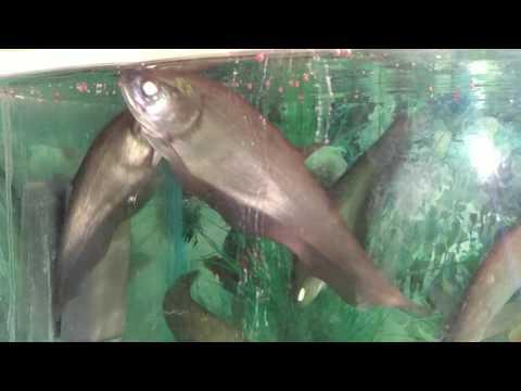 Knife Fish , Silver Sparkle And Koi Carp Eating Food