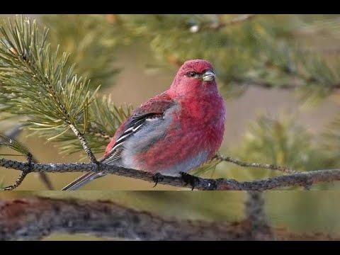 bird singing sound effect