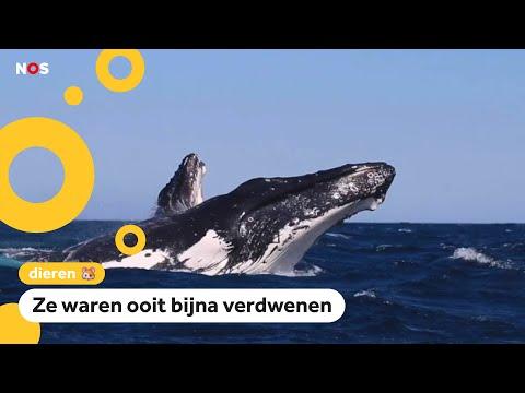 Waarom deze walvissen
