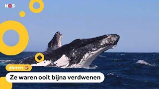 Waarom deze walvissen een soort superhelden zijn