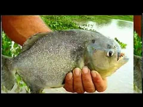 Flesh eating fish attack swimmers 70 injured youtube for Skin eating fish
