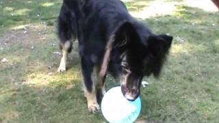 Casey My Bi Color Black Long Hair German Shepherd Dog Playing With Balloons..