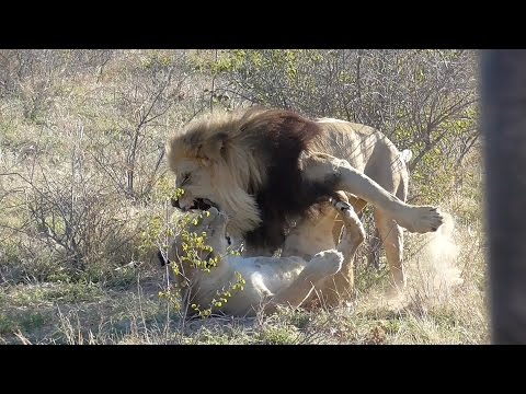 Angry lioness fights lover off