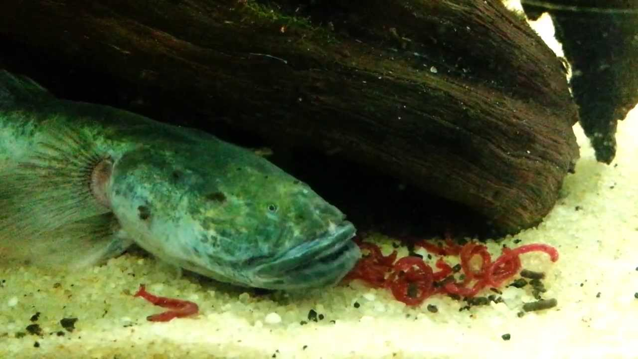Feeding the dragon the dragon goby that is youtube for Dragon fish goby