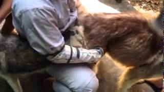 Repeat youtube video Stud Service and Dog Breeder - Solido Kennel