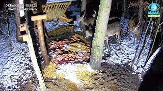 🦌 Młody jeleń i łanie 😍 w karmisku dla dzikich zwierząt