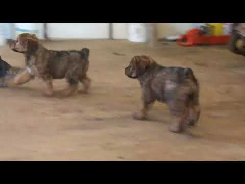 Wheaten Terrier Mix Puppies For Sale