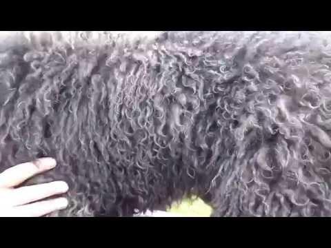 Barbet dog: Chien d'eau français et retriever.... different coat types