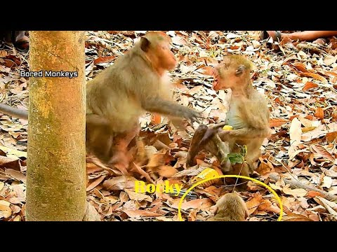 Oh No!! little monkey Rocky call big male Chimo fight poor skinny man monkey very scare beg Chimo