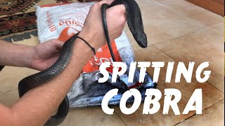 Catching and relocating another Siamese Spitting Cobra