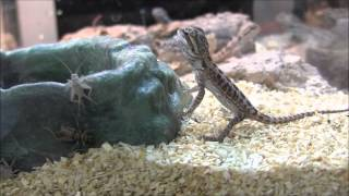 Baby Leatherback Bearded Dragons