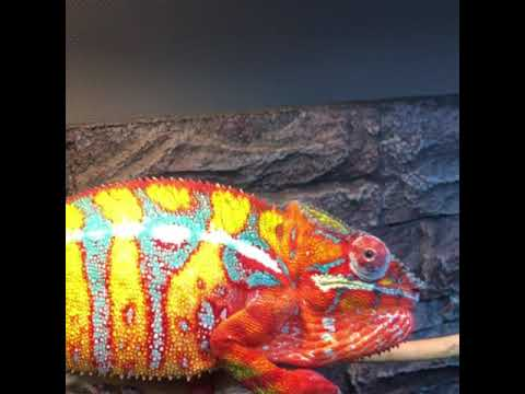 Ajax Ambilobe Panther Chameleon