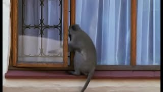 Breaking and entering - Cheeky Monkey - BBC