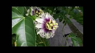 百香果花朵構造