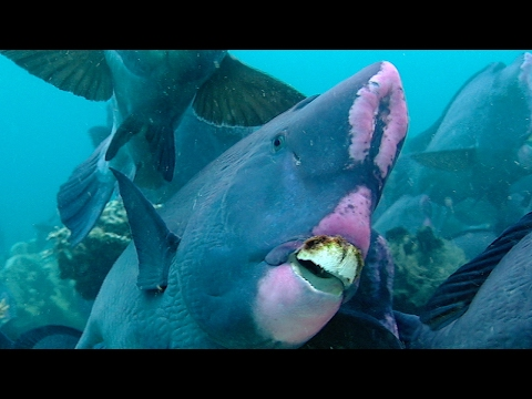 Feeding Humphead Parrotfish | Blue Planet | BBC Earth
